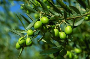 aceitunas-olivo