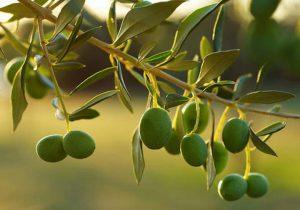 aceitunas-verdes